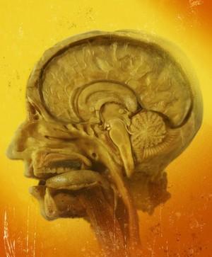 view Cross section of human cranium