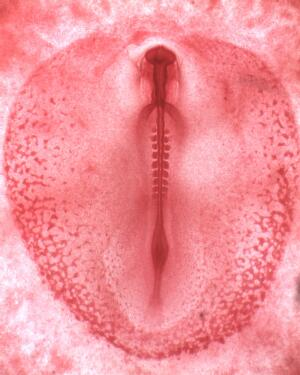 view Chick embryo