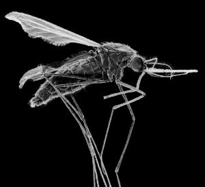 view Mosquito (Anopheles stephensi)