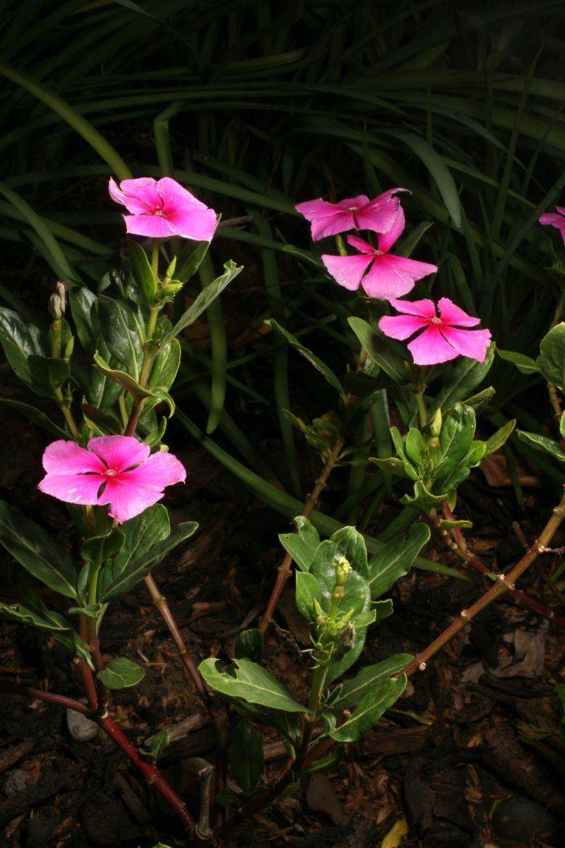 Catharanthus roseus (L.)G.Don Apocynaceae. Madagascar Periwinkle ...