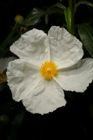 view Cistus ladanifer L., Cistaceae. Common Gum Cistus or Ladanum/labdanum. Distribution: Southern Europe and N. Africa. The fragrant resin from the sticky leaves, Gum Labdanum, is extracted and used in Mediterranean regions as an insecticide and deodorant ((Lewis & Elvin-Lewis, 2003). Lyte (1578) advises local application to prevent hair loss and cure earache