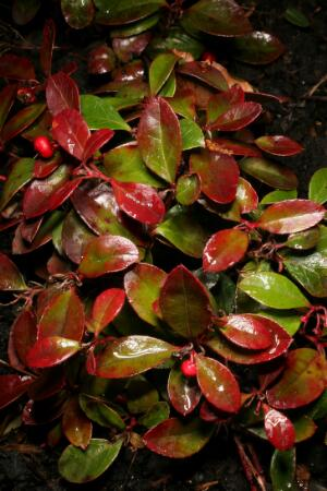 view Gaultheria procumbens Kalm Ericaeae. Wintergreen, teaberry, boxberry, chickerberry. Distribution: North American forests. Named for French physician/botanist Jean Francois Gaultier (1708-1756). Physician to the French King, emigrated to Quebec in 1742. Researched flora of North America, died of typhus (Oakeley, 2012). Source of oil of wintergreen. Ten pounds of oil can be extracted from a ton of leaves. Toxic effects: Stupidity, swelling of the tongue, food craving, epigastric tenderness, vomiting, dyspnoea, hot skin, tachycardia, restlessness (MiIlspaugh, 1974). Active chemical is methyl salicylate. Used topically for musculo-skeletal conditions, it is converted to salicylic acid when absorbed. Excess use has caused a death. Salicylic acid is also used for warts and corns (first described by Dioscorides in 70CE)