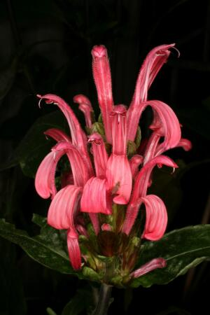 view Justicia carnea Lindl. Acanthaceae. Brazilian Plume flower, Flamingo flower. Shrimp plant. Tender shrub. Distribution: Atlantic coast of Brazil. Named for James Justice (1698-1753) Scottish horticulturist, lawyer, 'tulip maniac' (Desmond, 1977). Asian species of Justicia are noted to be toxic and contain cytotoxic compounds which inhibit virus replication (Wiart, 2006) Photographed in the Medicinal Garden of the Royal College of Physicians, London.