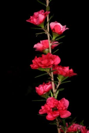 view Leptospermum scoparium 'Red Damask'