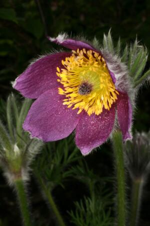 view Pulsatilla vulgaris Mill. Ranunculaceae Distribution: Europe. Lindley (1838) and Woodville (1790) knew this as Anemone pulsatilla, the common name being Pasque (Easter) Flower. At the end of the 18th century it was recommended for blindness, cataracts, syphilis, strokes and much more, treatments which, as was clear to physicians at the time, were valueless. Gerard (1633) writes: 'They serve only for the adorning of gardens and garlands, being floures of great beauty'. It is in the buttercup family, Ranunculaceae, all members of which are poisonous. It was recommended, by mouth, for 'obstinate case of taenia' (tapeworms). One hopes it was more toxic to the worm than the patient. Flowers with a central disc and radiating florets were regarded as being good for eye complaints under the Doctrine of Signatures. Porta (1588) writes (translated): 'Argemone [Papaver argemone], and anemone, have flowers of this shape, from this they cure ulcers and cloudiness of the cornea'. There were occupational diseases even before there were words like pneumoconiosis, and Lindley writes that 'the powder of the root causes itching of the eyes, colic and vomiting, if in pulverising it the operator do not avoid the fine dust which is driven up.' Photographed in the Medicinal Garden of the Royal College of Physicians, London.