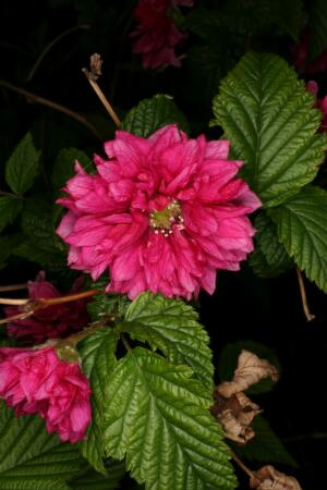 view Rubus spectabilis 'Olympic Double'