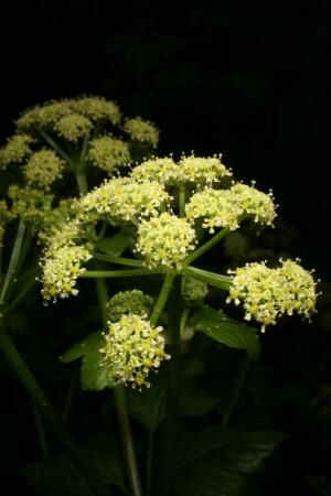 view Smyrnium olusatrum L. Apiaceae. Alexanders, Black Lovage, Horse Parsley. Distribution: W & S Europe, Mediterranean. Culpeper (1650) writes: 'Hipposelinum. Alexanders or Alisanders, provoke urine, expel the afterbirth, provoke urine, help the strangury, expel the wind.' Culpeper has taken this mainly from Dioscorides' Materia Medica (circa 100 AD). The genus name is said to derive from Smyrna, a city which was founded by Alexander the Great (although there was one which pre-dated his Smyrna). on the Aegean coast of Anatolia. The species name comes from the Latin olus meaning a pot herb (cooking vegetable) and atrum meaning black, in reference to the seeds. It is described as tasting like a rather bitter, second-class celery. The English name may derive from Alexandria or Alexander the Great. It is rarely used in herbal medicine now. Photographed in the Medicinal Garden of the Royal College of Physicians, London.