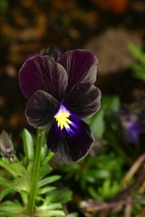 view Viola tricolor 'Black Magic'