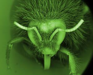 view Head of a bumble bee (Bombus), SEM
