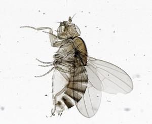 view Fruit fly (Drosophila melanogaster) larva, LM