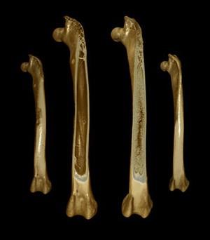 view Thigh bones (femora) from Japanese quail, micro-CT