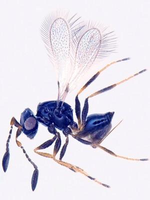 view Fairy fly (Himopolynema), parasitoid wasp