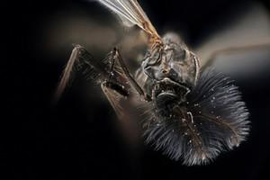 view Mosquito (unknown species)