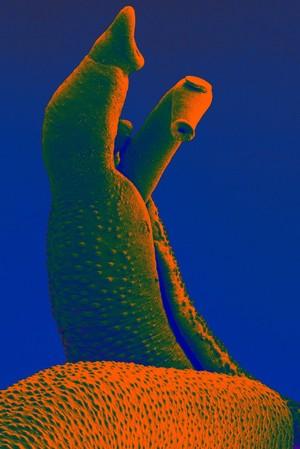 view Schistosoma mansoni flatworm, male with female