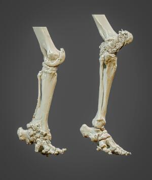 view 3D reconstructed elephant hind limbs