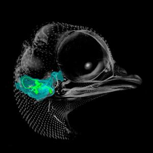view A microCT 3D reconstruction of a 10-day-old chick embryo, as seen from the right hand side. The inner ear is depicted, with the semicircular canals (the body's balance organ) and the cochlea (which converts sound waves into electrical impulses) shown in green. The otic capsule, a cartilaginous structure surrounding the inner ear which develops into part of the sphenoid bone, is shown in blue.
