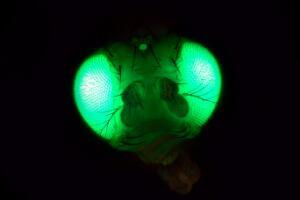 view Drosophila expressing GFP