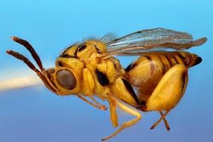view Parasitoid wasp, lateral