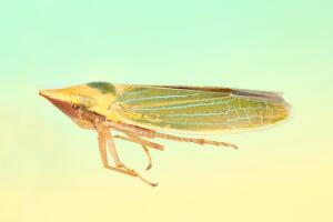 view Leafhopper, lateral