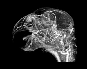 view Microvasculature of grey parrot head