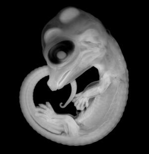 view Embryo of the American Alligator Alligator mississippiensis at 33 days of development (approximately 50% of the entire embryonic period). All of the external structures, including characteristic jaws and limbs, are already in place and clearly visible.