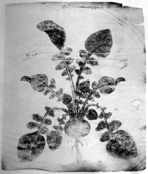 view Ilustration of a Medicinal Plant