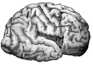 view Cerebral Cortex.