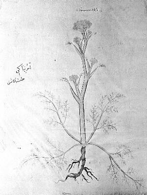 view Illustration of a Medicinal Plant