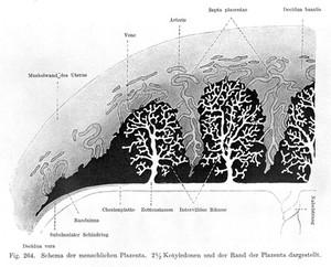 view Histology, Human placenta