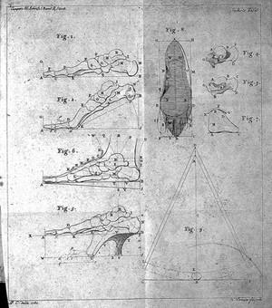 view Bones of the feet, from Camper, Abhandlung von der besten Form der Schube