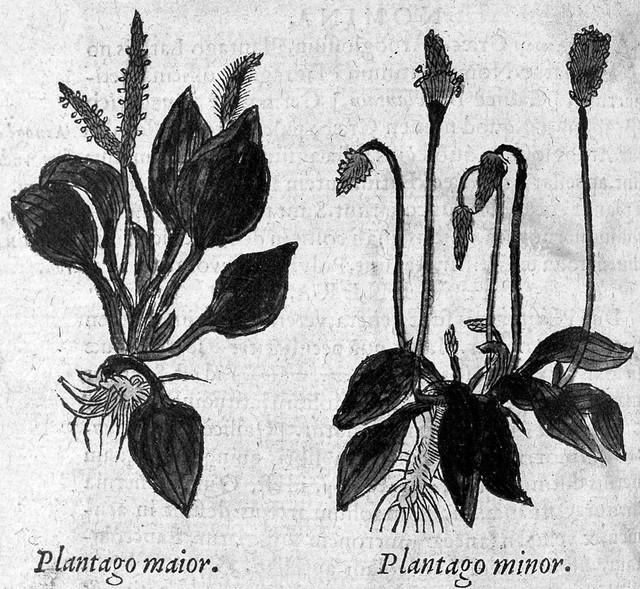 "Plantago, major and minor, ""De historia stirpium..."" Fuchs, 1549"