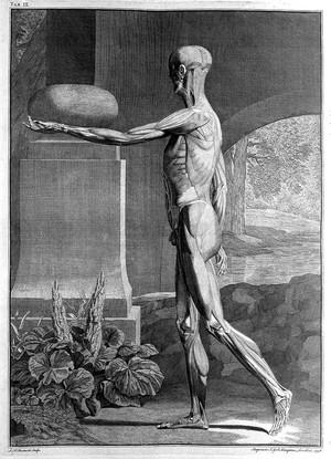 view Engravings of anatomical designs: musclemen.