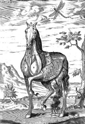 view Muscles of a horse.
