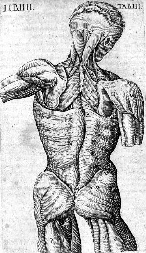 view Dorsal muscles, 17th century
