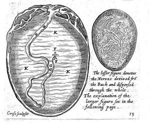 view Speculum matricis, 1671: embryo