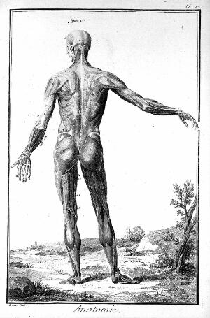 view Standing male ecorche posterior view of musculature