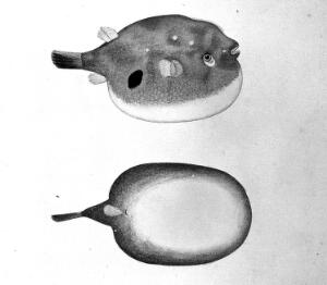 view Fish (Puffer Fish?): lateral and ventral views