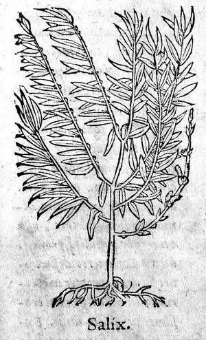view De medicinali materia libri sex..., Salix.