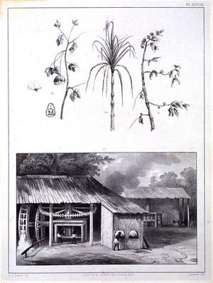 view P. J. Benoit, Voyage Surinam, 1839: sugar cane