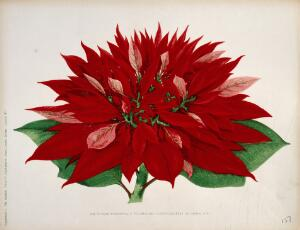view A double flowered poinsettia (Euphorbia pulcherrima): flowering stem. Chromolithograph, c. 1876.