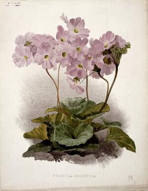 view Poison primula (Primula obconica): flowering plant. Chromolithograph, c. 1897, after H. Moon.