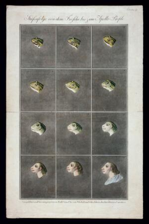 view Twelve stages in the sequence from the head of a frog to the head of a primitive man. Coloured etchings by Christian von Mechel after Lavater, 1797.