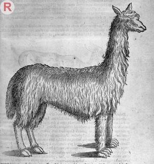 view Engraving of a Llama