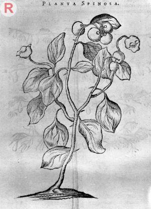 view Engraving og a Spinosa Plant