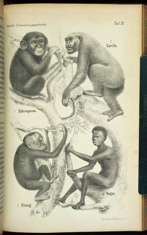 view Plate from Haeckel, Anthropogenie