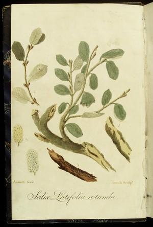 view Salix Latifolia Rotunda, Cinchona
