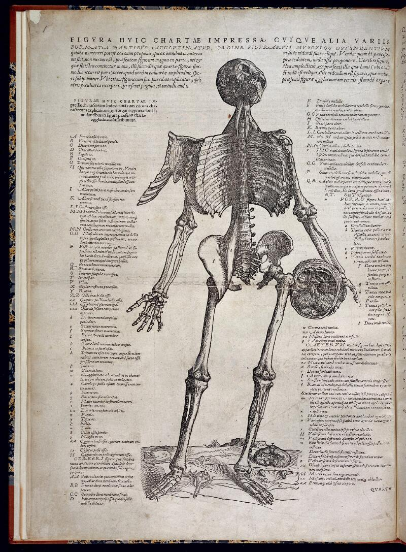 Skeleton holding a skull | Wellcome Collection