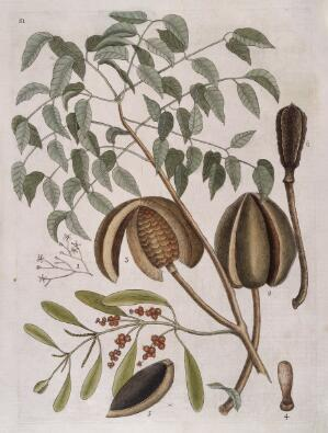 view Leaves, flowers, fruit and seed pods of Mahogany tree, 1731