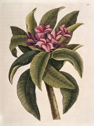 view Flower and leaves of the Plumeria tree, America, 1731