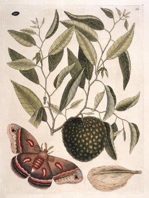 view Carolina moth with fruit resembling custard apple, 1731